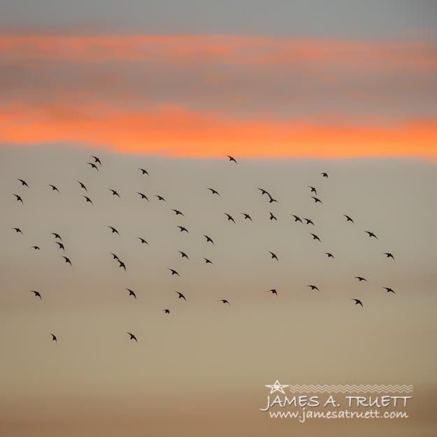 Starlings dancing in the Irish sunset