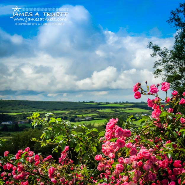 Wild Irish Roses of County Clare