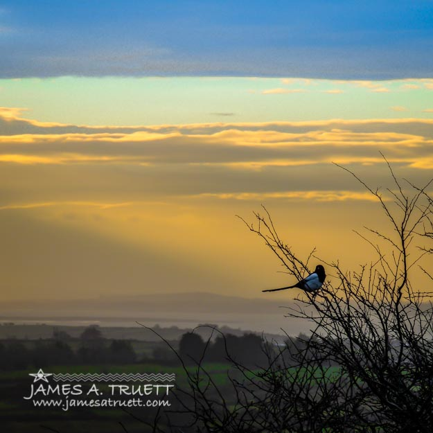 Magpie and Misty Morning over Ireland's County Clare