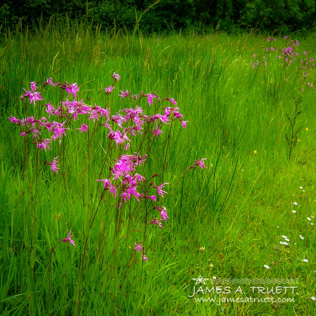 Purple Flowers in a Green Irish Field