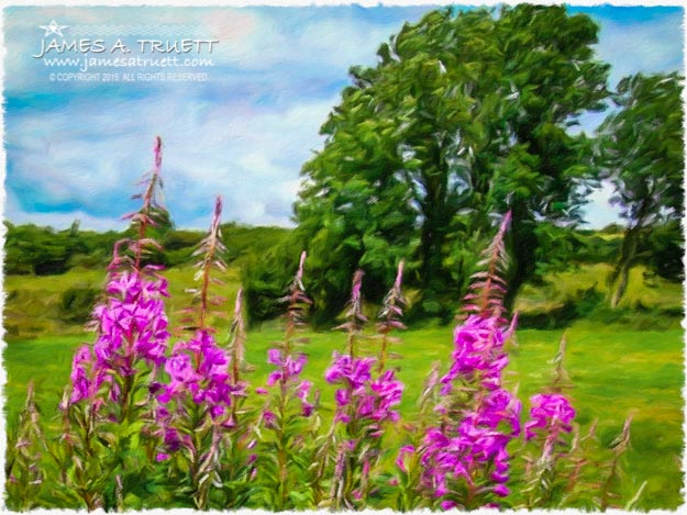 Blooming Fireweeds in Lanna, County Clare, Ireland