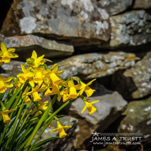 Daffodils Against an Irish Stone Wall
