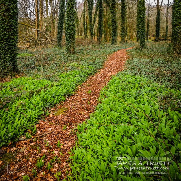 Irish Woods of Coole Park in Yeats Poems