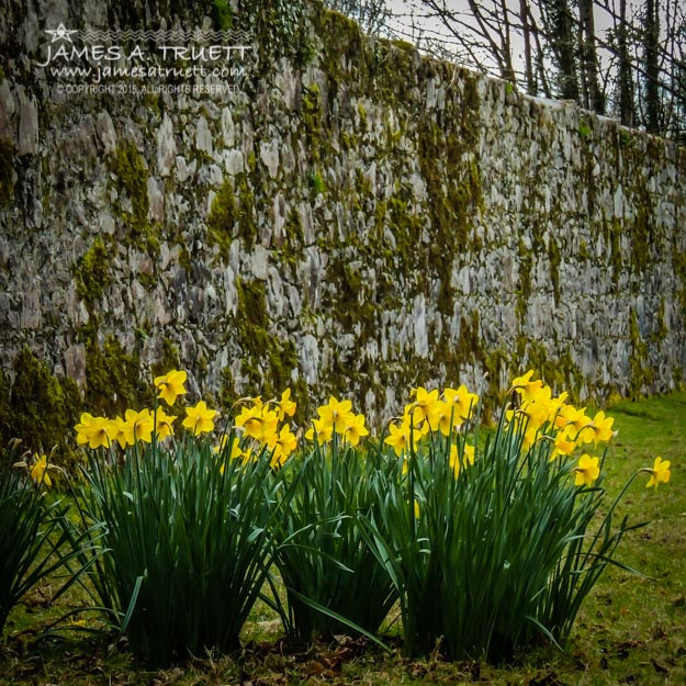 Wild Daffodils at Coole Park