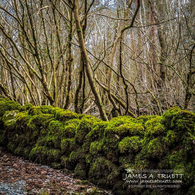 Mossy Rock Fence in Coole Park Wood