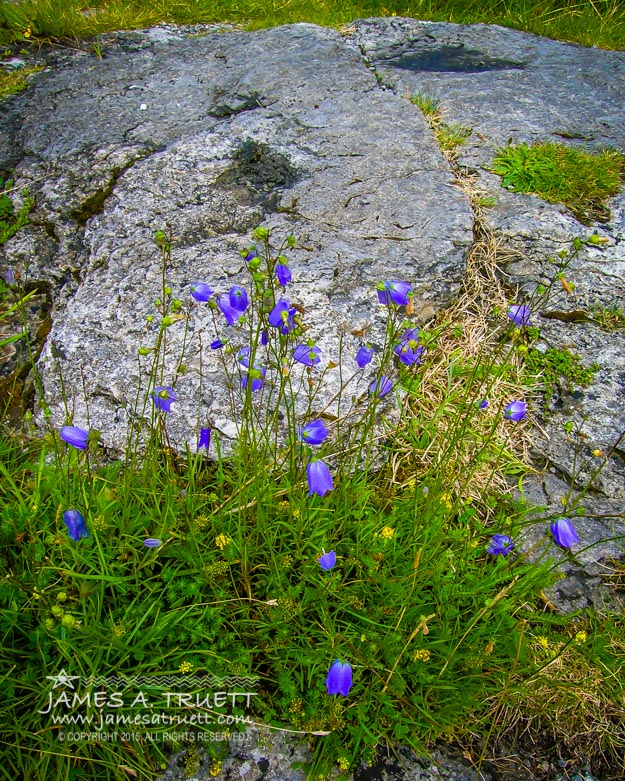 Wildflowers in the Burren Limestone