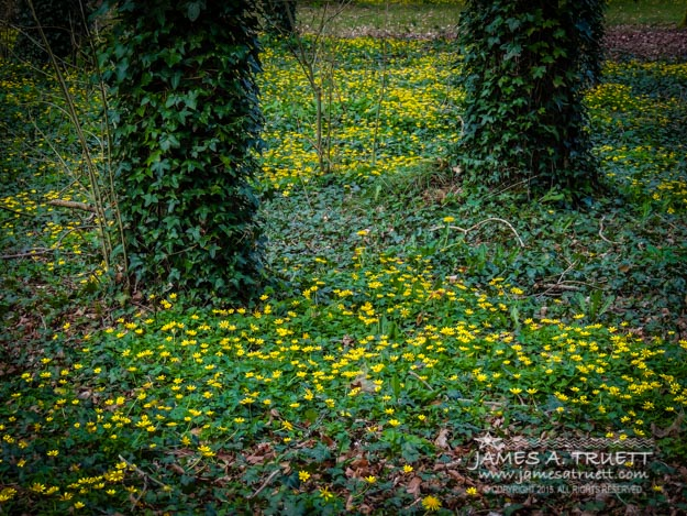 Wildflower Carpet in Yeats' Seven Woods