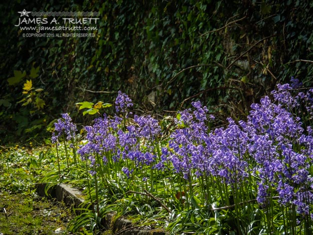 Wild bluebells blooming in Kilrush, County Clare, Ireland.