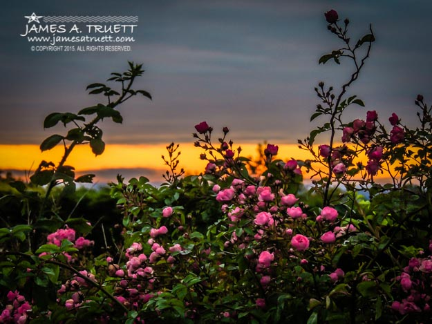 Wild Irish Roses at Sunrise in the County Clare Countryside