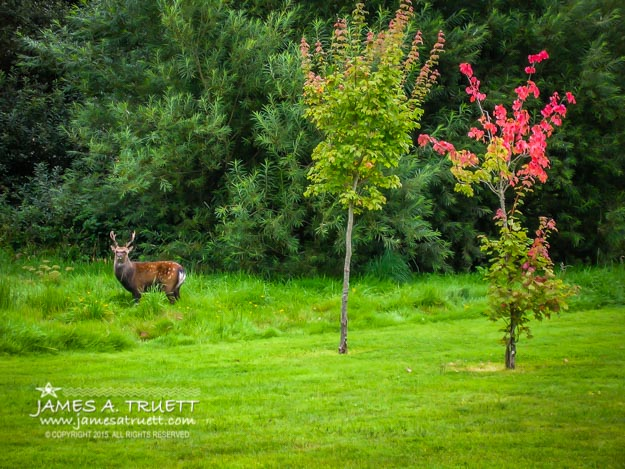 Irish Red Deer in Autumn