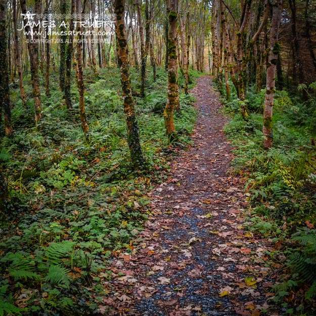 Autumn Path in Lissycasey Wood in County Clare, Ireland.