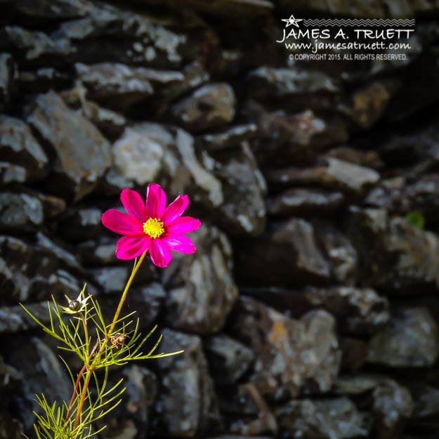 Cosmos Flower and Irish Stone Wall