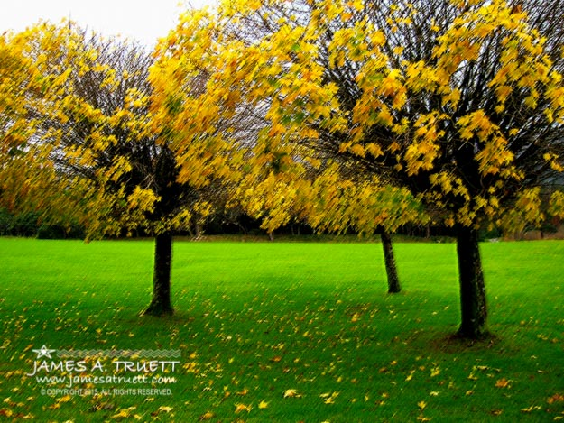 Yellow Leaves at Muckross Gardens, Killarney, County Kerry